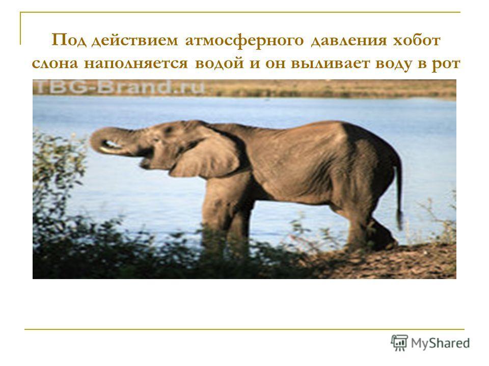 Под действием атмосферного давления хобот слона наполняется водой и он выливает воду в рот