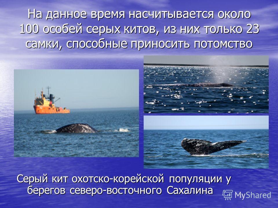 Серый кит Охотско-корейской популяции