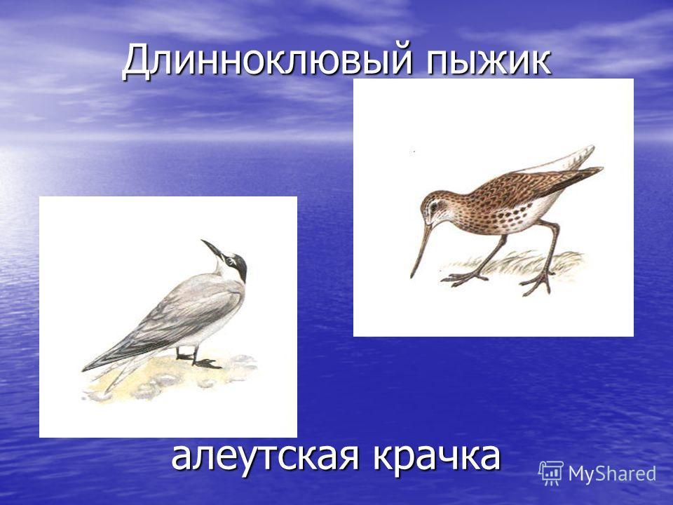белоплечий орлан охотский улит