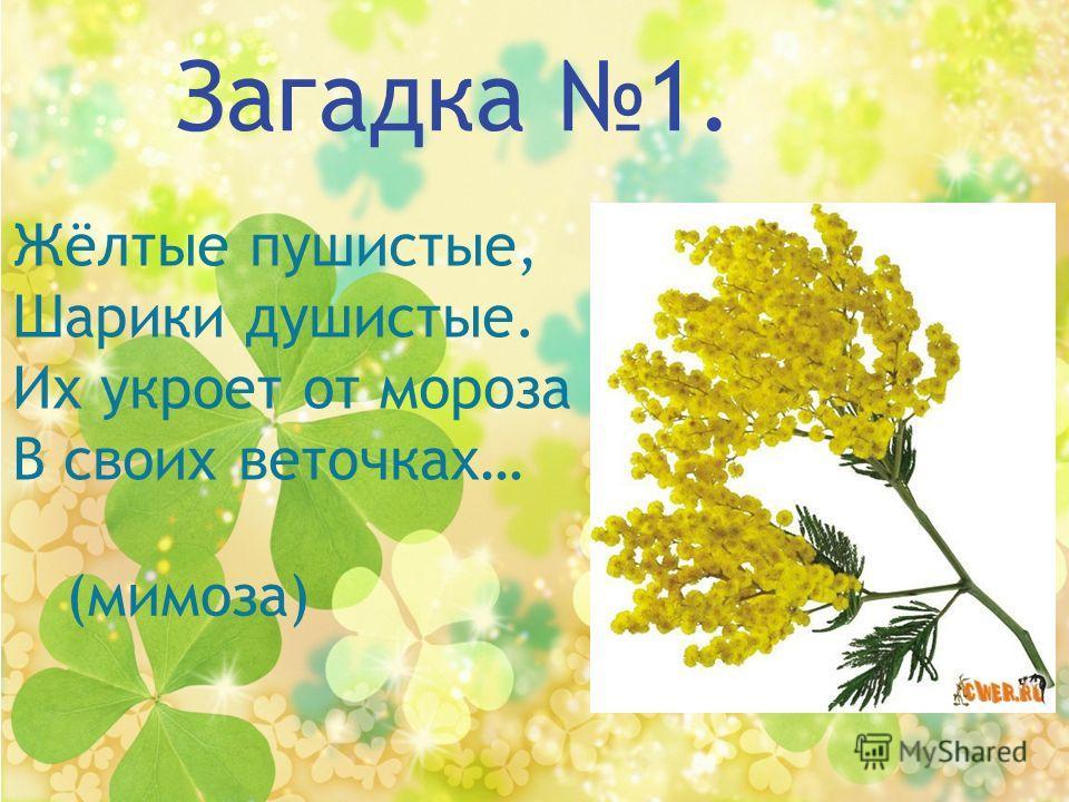 Загадка 1. Жёлтые пушистые, Шарики душистые. Их укроет от мороза В своих веточках… (мимоза)
