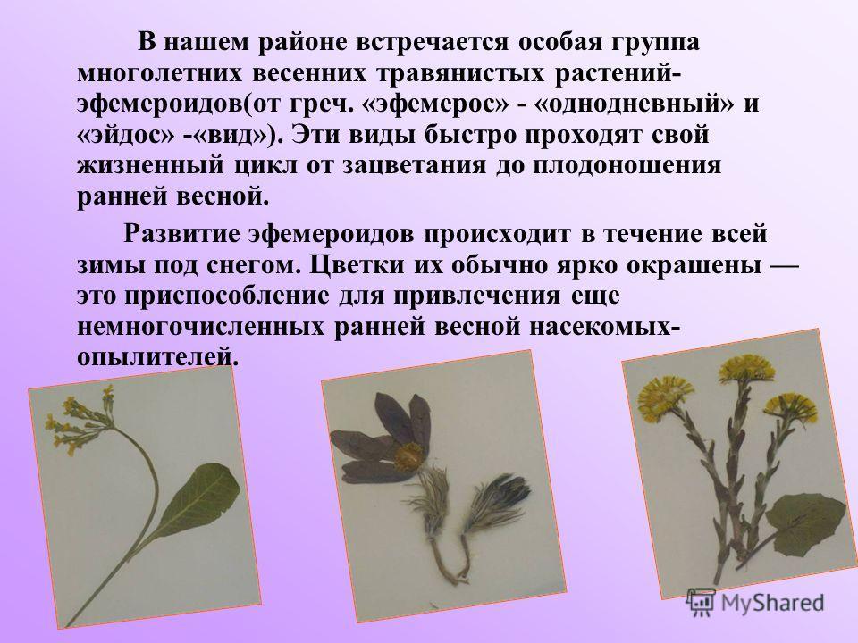 В нашем районе встречается особая группа многолетних весенних травянистых растений- эфемероидов(от греч. «эфемерос» - «однодневный» и «эйдос» -«вид»). Эти виды быстро проходят свой жизненный цикл от зацветания до плодоношения ранней весной. Развитие