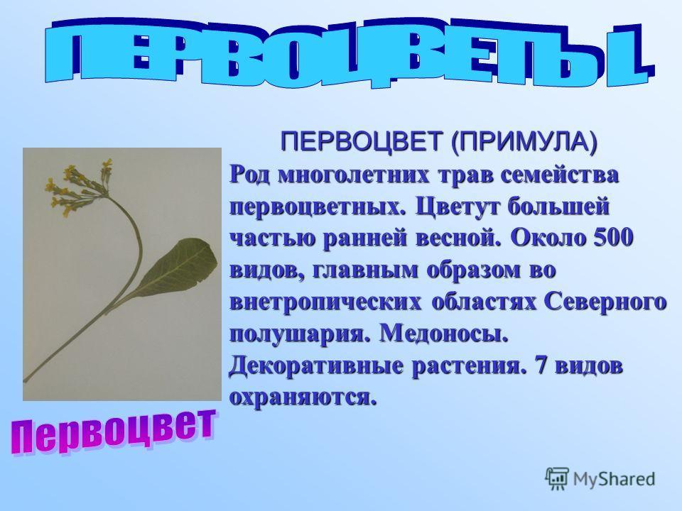 ПЕРВОЦВЕТ (ПРИМУЛА) ПЕРВОЦВЕТ (ПРИМУЛА) Род многолетних трав семейства первоцветных. Цветут большей частью ранней весной. Около 500 видов, главным образом во внетропических областях Северного полушария. Медоносы. Декоративные растения. 7 видов охраня