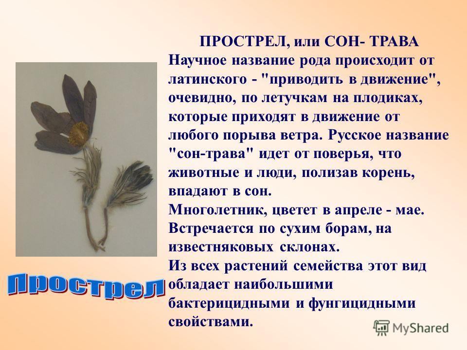 ПРОСТРЕЛ, или СОН- ТРАВА Научное название рода происходит от латинского -