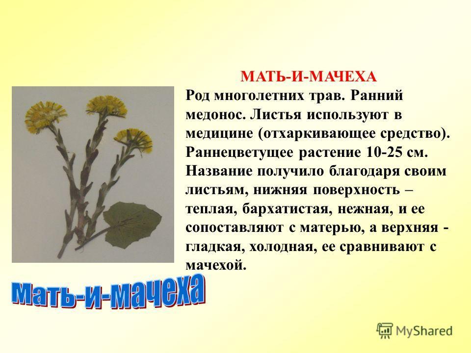 МАТЬ-И-МАЧЕХА Род многолетних трав. Ранний медонос. Листья используют в медицине (отхаркивающее средство). Раннецветущее растение 10-25 см. Название получило благодаря своим листьям, нижняя поверхность – теплая, бархатистая, нежная, и ее сопоставляют