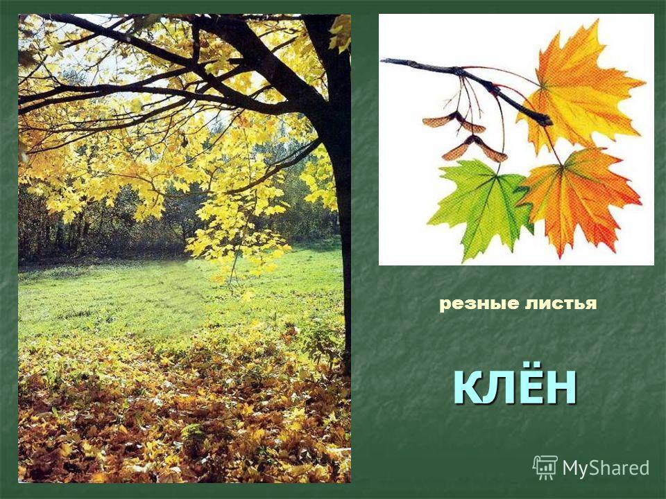 КЛЁН резные листья