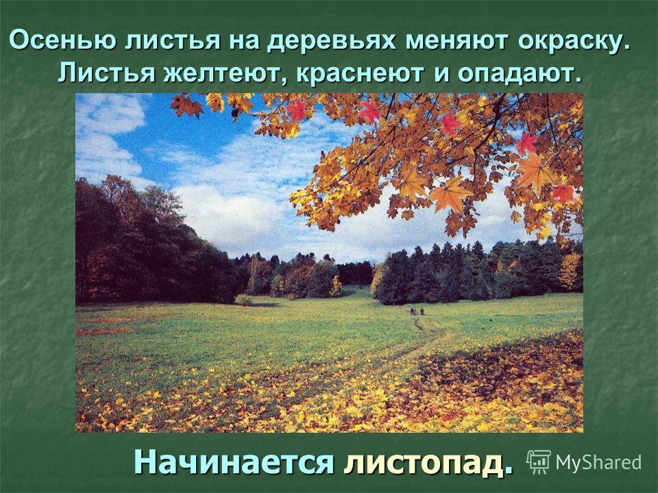 Осенью листья на деревьях меняют окраску. Листья желтеют, краснеют и опадают. Начинается листопад.