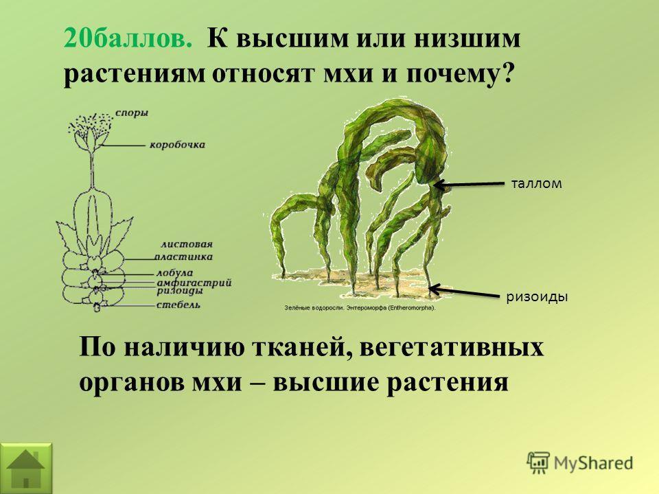 20баллов. К высшим или низшим растениям относят мхи и почему? По наличию тканей, вегетативных органов мхи – высшие растения таллом ризоиды