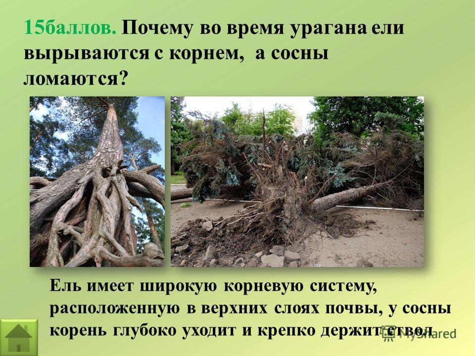 15баллов. Почему во время урагана ели вырываются с корнем, а сосны ломаются? Ель имеет широкую корневую систему, расположенную в верхних слоях почвы, у сосны корень глубоко уходит и крепко держит ствол