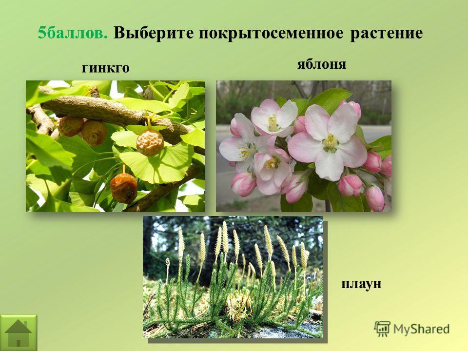 5баллов. Выберите покрытосеменное растение гинкго плаун яблоня