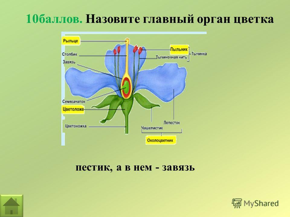 10баллов. Назовите главный орган цветка пестик, а в нем - завязь