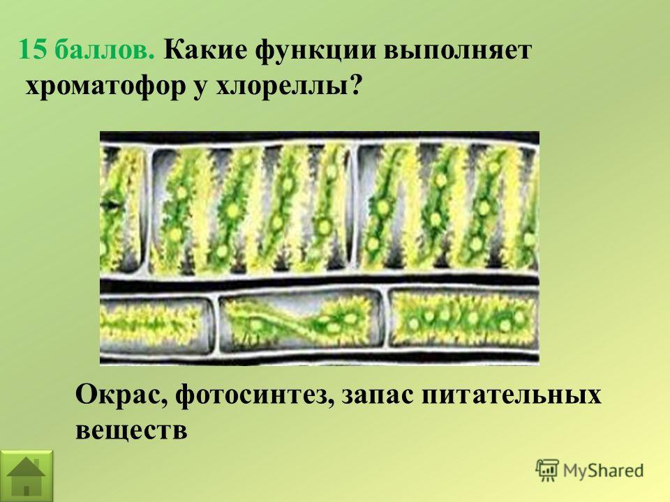 15 баллов. Какие функции выполняет хроматофор у хлореллы? Окрас, фотосинтез, запас питательных веществ