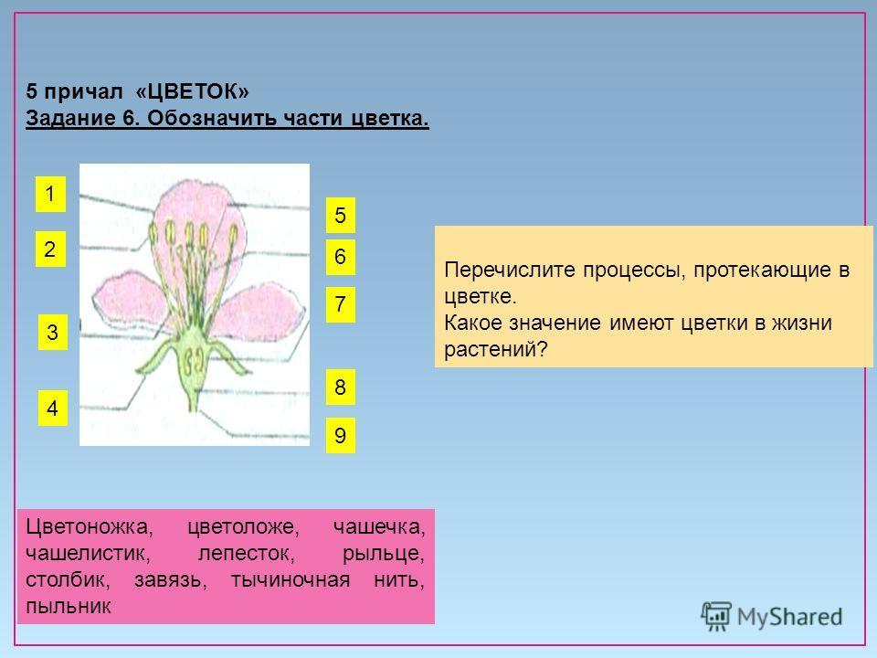 5 причал «ЦВЕТОК» Задание 6. Обозначить части цветка. Перечислите процессы, протекающие в цветке. Какое значение имеют цветки в жизни растений? 1 4 2 9 8 6 5 7 3 Цветоножка, цветоложе, чашечка, чашелистик, лепесток, рыльце, столбик, завязь, тычиночна