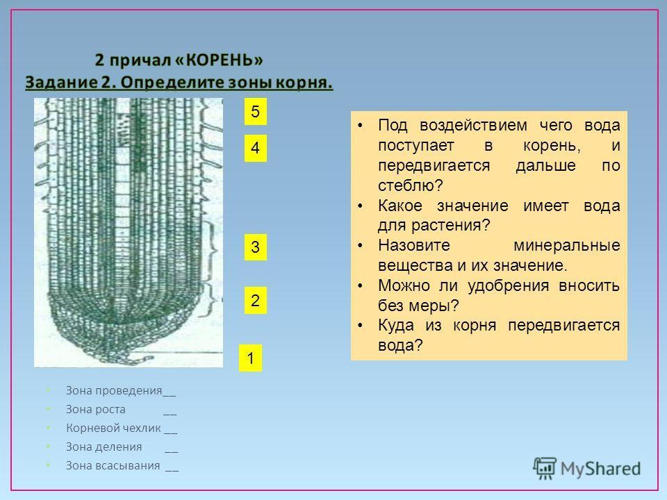 Зона проведения __ Зона роста __ Корневой чехлик __ Зона деления __ Зона всасывания __ 5 3 4 2 1 Под воздействием чего вода поступает в корень, и передвигается дальше по стеблю? Какое значение имеет вода для растения? Назовите минеральные вещества и