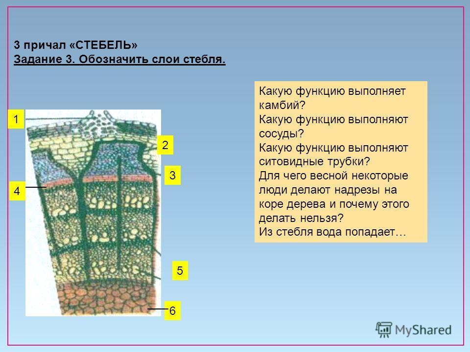 3 причал «СТЕБЕЛЬ» Задание 3. Обозначить слои стебля. 2 1 3 5 4 6 Какую функцию выполняет камбий? Какую функцию выполняют сосуды? Какую функцию выполняют ситовидные трубки? Для чего весной некоторые люди делают надрезы на коре дерева и почему этого д