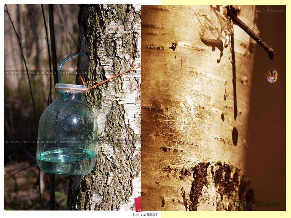 Жалоба: «Мы, белоствольные берёзы, жалуемся на тех людей, которые губят нас, берут сок из дерева весной, и мы погибаем».