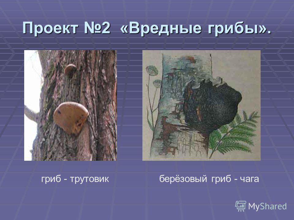 Проект 2 «Вредные грибы». гриб - трутовикберёзовый гриб - чага