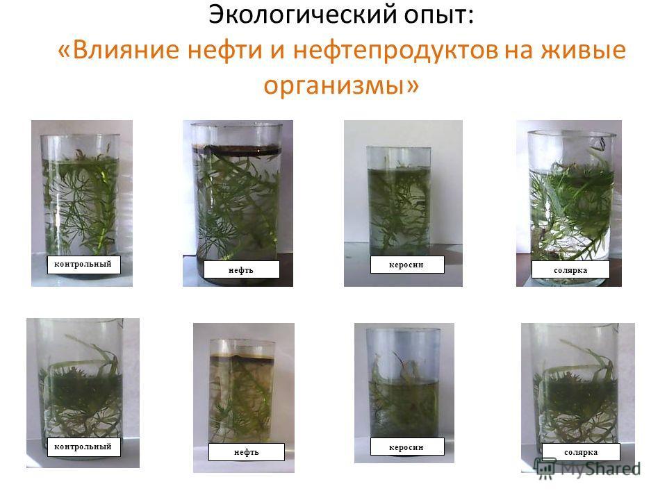 Экологический опыт: «Влияние нефти и нефтепродуктов на живые организмы» контрольный нефть керосин солярка