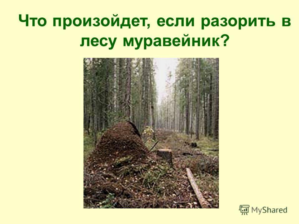 Что произойдет, если разорить в лесу муравейник?