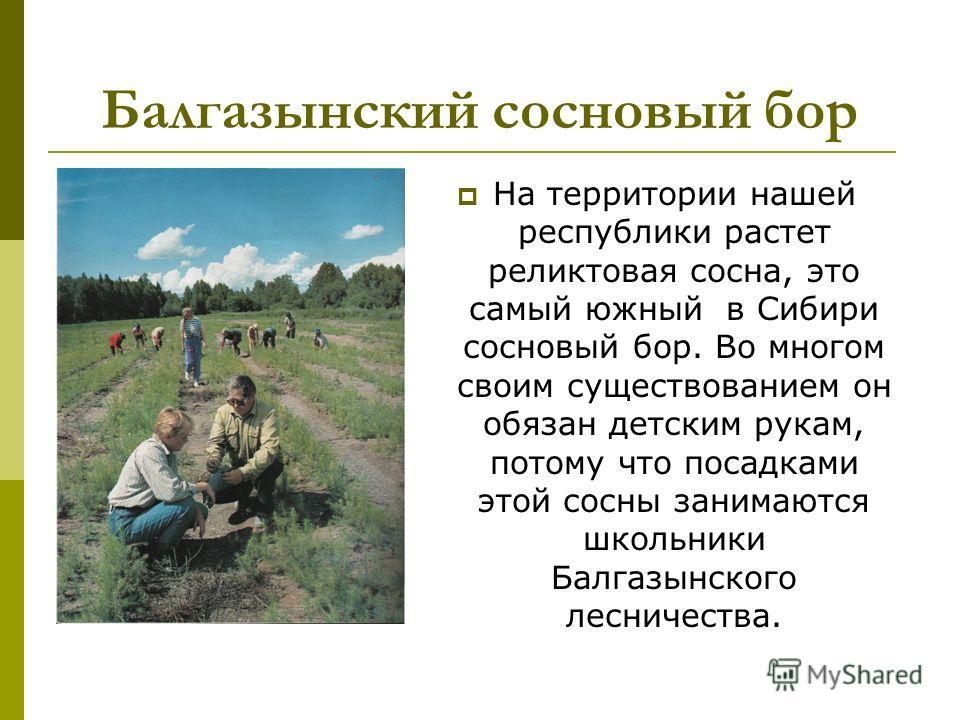 Балгазынский сосновый бор На территории нашей республики растет реликтовая сосна, это самый южный в Сибири сосновый бор. Во многом своим существованием он обязан детским рукам, потому что посадками этой сосны занимаются школьники Балгазынского леснич