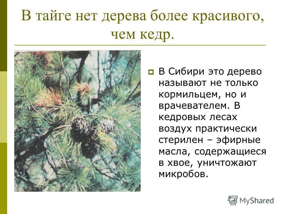 В тайге нет дерева более красивого, чем кедр. В Сибири это дерево называют не только кормильцем, но и врачевателем. В кедровых лесах воздух практически стерилен – эфирные масла, содержащиеся в хвое, уничтожают микробов.