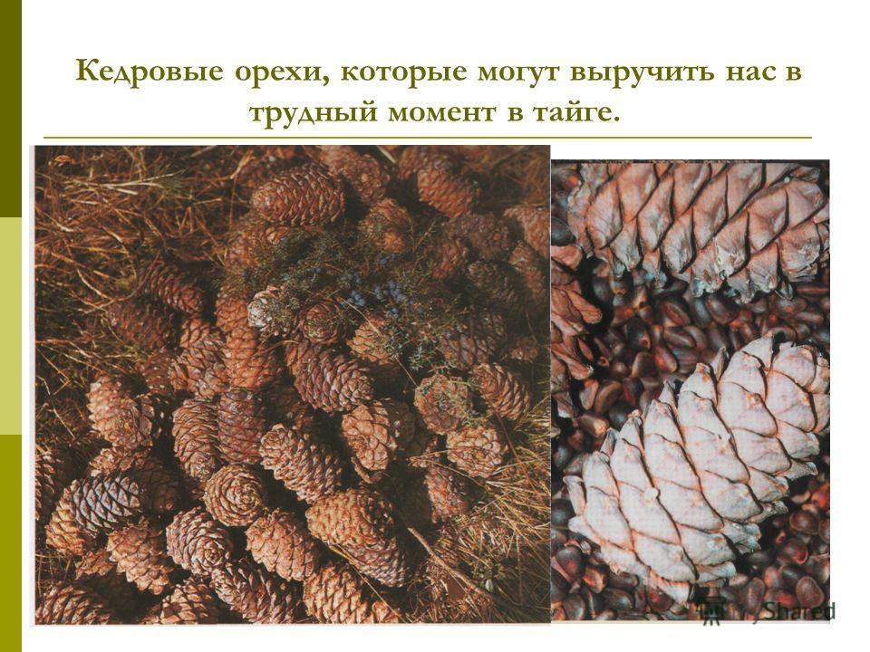 Кедровые орехи, которые могут выручить нас в трудный момент в тайге.