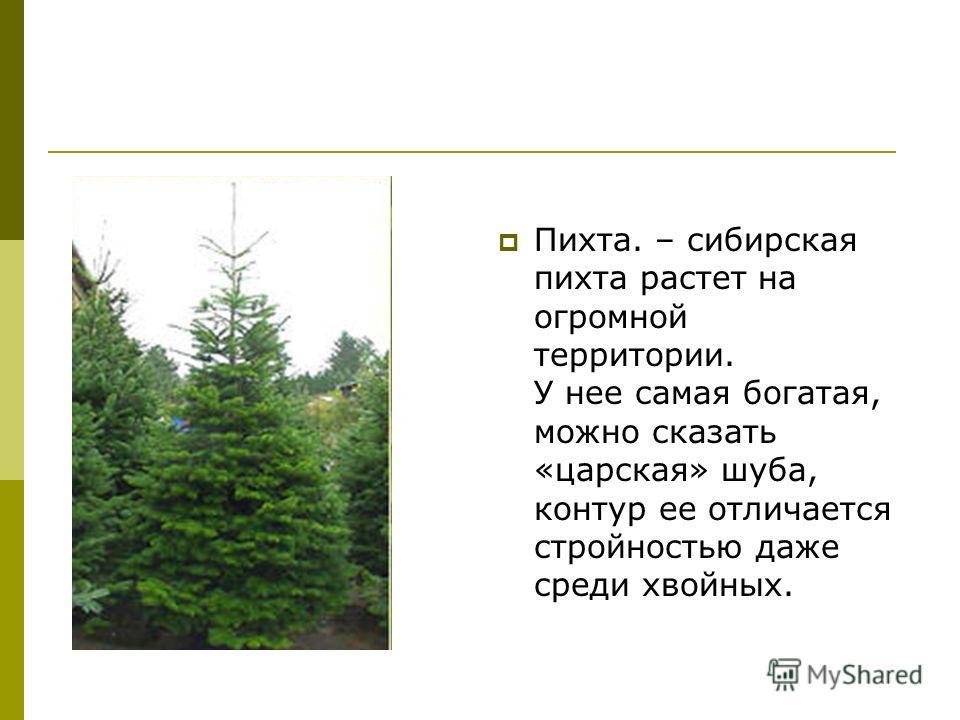 Пихта. – сибирская пихта растет на огромной территории. У нее самая богатая, можно сказать «царская» шуба, контур ее отличается стройностью даже среди хвойных.