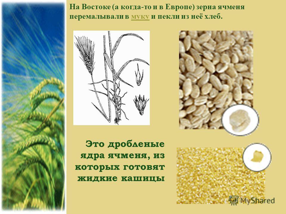 На Востоке (а когда-то и в Европе) зерна ячменя перемалывали в муку и пекли из неё хлеб.муку Это дробленые ядра ячменя, из которых готовят жидкие кашицы