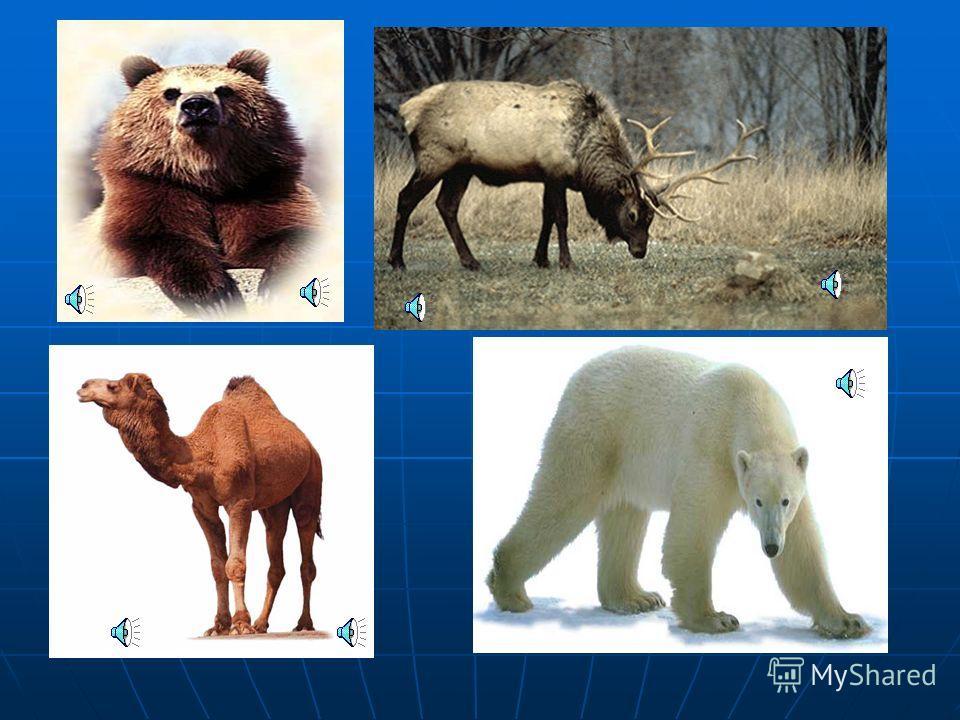 Как называется зверь ? Как называется зверь ? В какой природной зоне живет ? В какой природной зоне живет ? Чем питается ? Чем питается ?