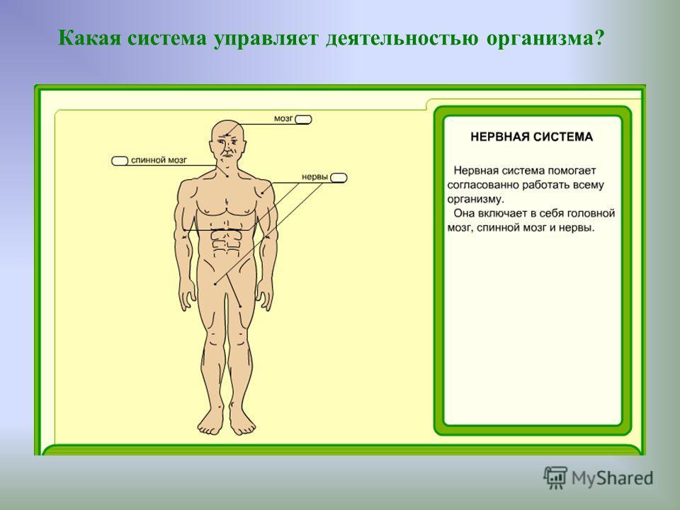Какая система управляет деятельностью организма?