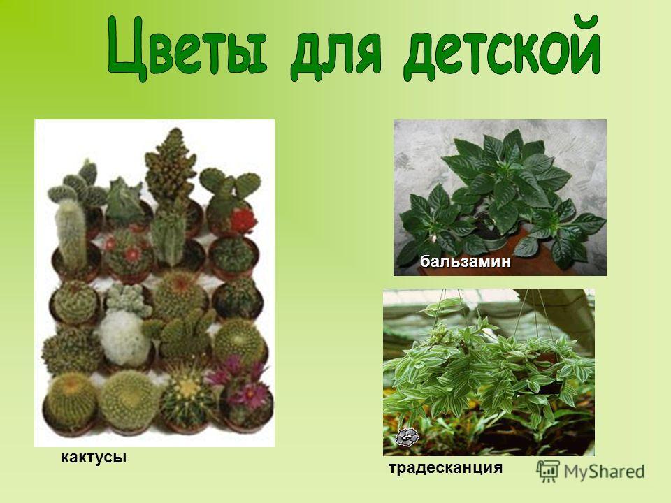 кактусы традесканция бальзамин