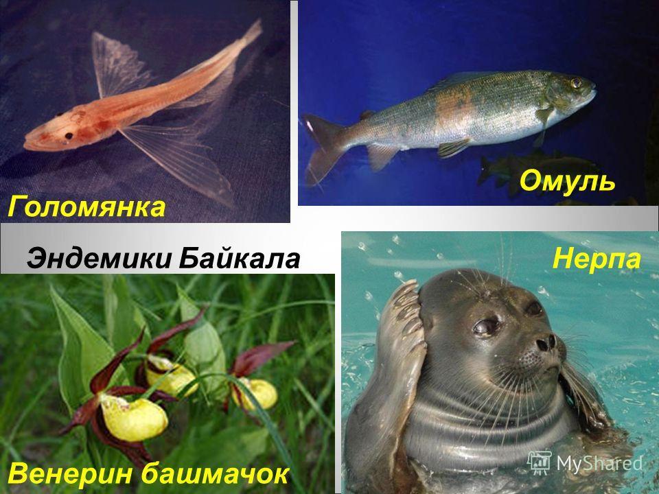 Эндемики Байкала Голомянка Омуль Нерпа Венерин башмачок