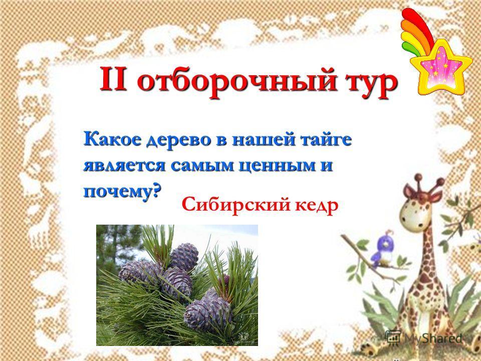 II отборочный тур Какое дерево в нашей тайге является самым ценным и почему? Сибирский кедр