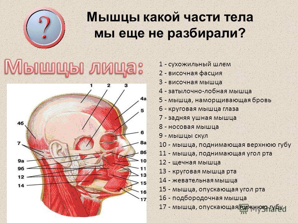 Мышцы какой части тела мы еще не разбирали? 1 - сухожильный шлем 2 - височная фасция 3 - височная мышца 4 - затылочно-лобная мышца 5 - мышца, наморщивающая бровь 6 - круговая мышца глаза 7 - задняя ушная мышца 8 - носовая мышца 9 - мышцы скул 10 - мы