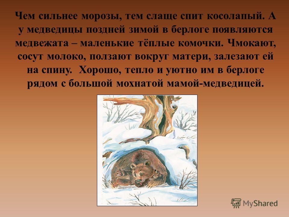 Чем сильнее морозы, тем слаще спит косолапый. А у медведицы поздней зимой в берлоге появляются медвежата – маленькие тёплые комочки. Чмокают, сосут молоко, ползают вокруг матери, залезают ей на спину. Хорошо, тепло и уютно им в берлоге рядом с большо