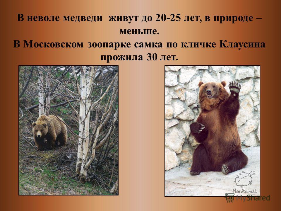 В неволе медведи живут до 20-25 лет, в природе – меньше. В Московском зоопарке самка по кличке Клаусина прожила 30 лет.