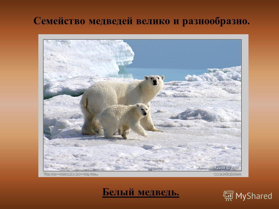 Семейство медведей велико и разнообразно. Белый медведь.