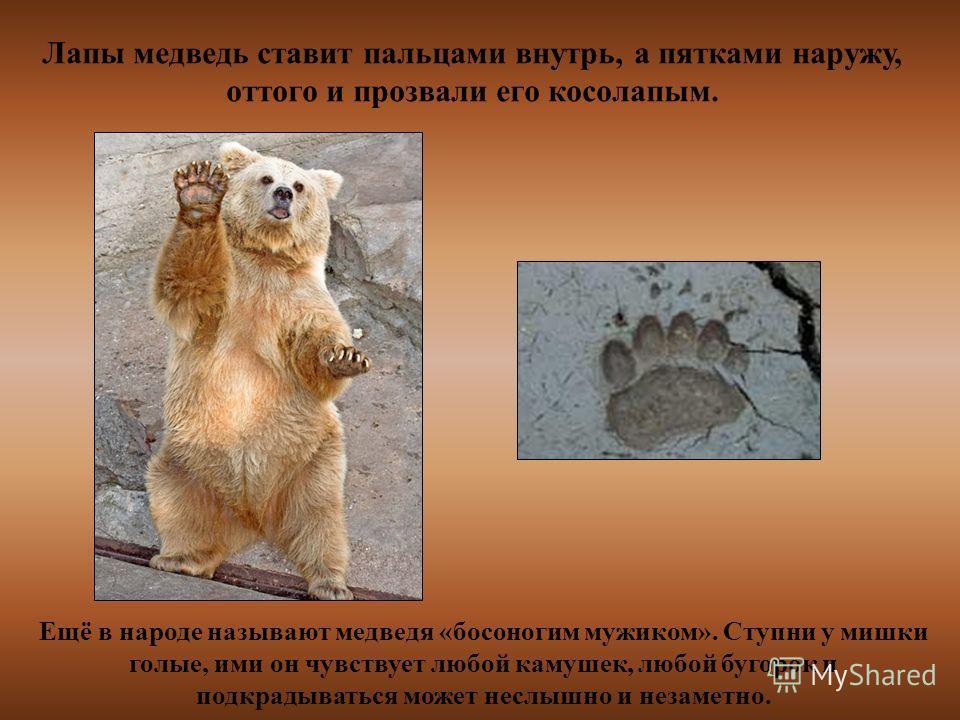 Лапы медведь ставит пальцами внутрь, а пятками наружу, оттого и прозвали его косолапым. Ещё в народе называют медведя «босоногим мужиком». Ступни у мишки голые, ими он чувствует любой камушек, любой бугорок и подкрадываться может неслышно и незаметно