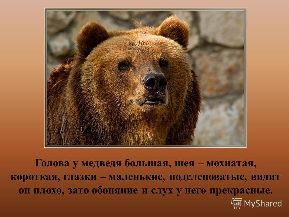 Голова у медведя большая, шея – мохнатая, короткая, глазки – маленькие, подслеповатые, видит он плохо, зато обоняние и слух у него прекрасные.