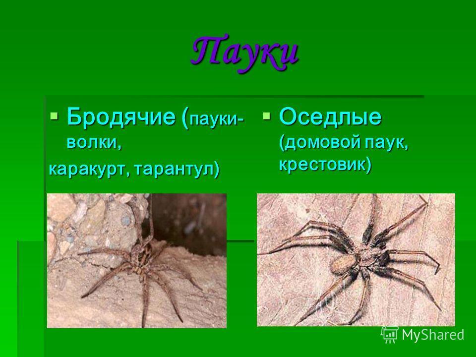 Пауки Бродячие ( пауки- волки, Бродячие ( пауки- волки, каракурт, тарантул) Оседлые (домовой паук, крестовик) Оседлые (домовой паук, крестовик)