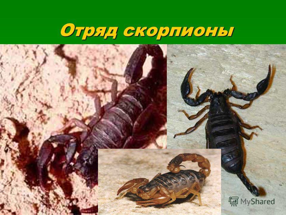 Отряд скорпионы