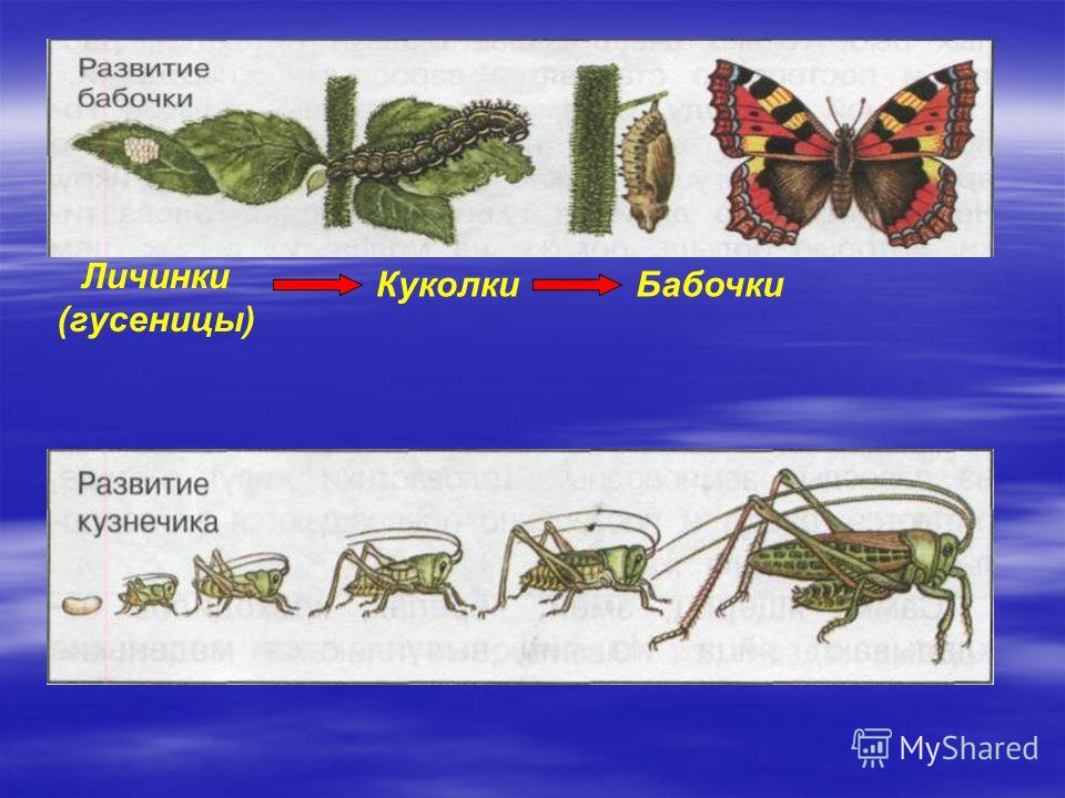 Личинки (гусеницы) КуколкиБабочки
