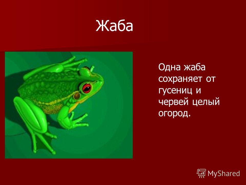 Жаба Одна жаба сохраняет от гусениц и червей целый огород.