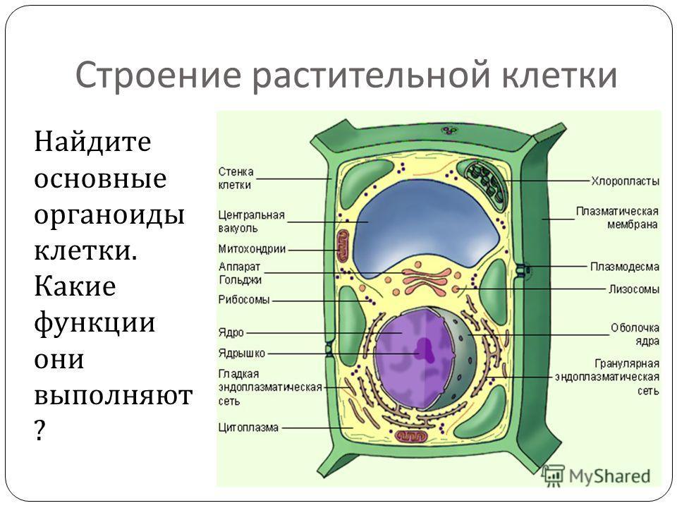 Строение растительной клетки Найдите основные органоиды клетки. Какие функции они выполняют ?