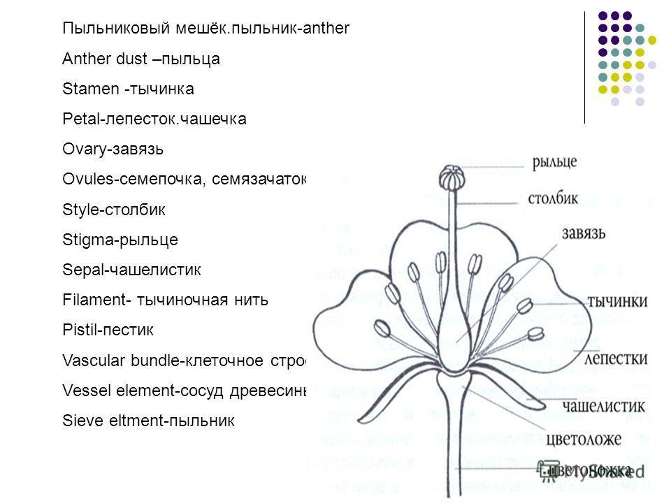 Пыльниковый мешёк.пыльник-anther Anther dust –пыльца Stamen -тычинка Petal-лепесток.чашечка Ovary-завязь Ovules-семепочка, семязачаток Style-столбик Stigma-рыльце Sepal-чашелистик Filament- тычиночная нить Pistil-пестик Vascular bundle-клеточное стро