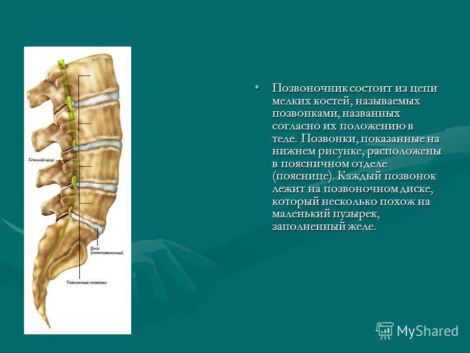 Позвоночник состоит из цепи мелких костей, называемых позвонками, названных согласно их положению в теле. Позвонки, показанные на нижнем рисунке, расположены в поясничном отделе (пояснице). Каждый позвонок лежит на позвоночном диске, который нескольк