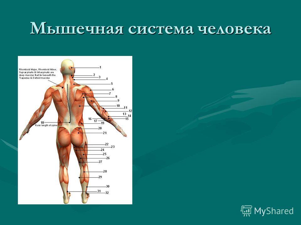 Мышечная система человека