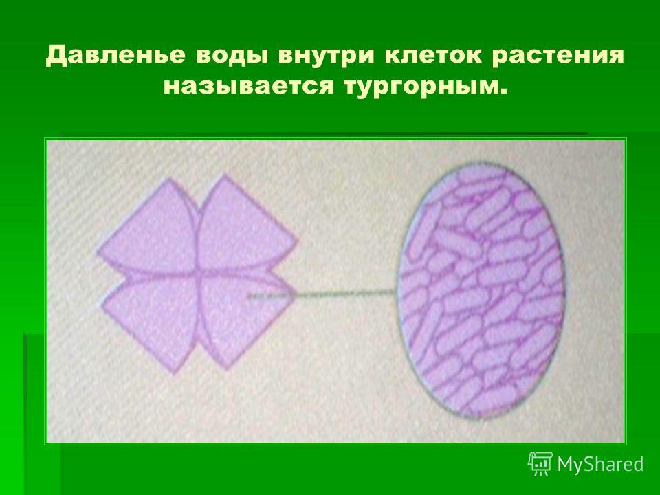 Давленье воды внутри клеток растения называется тургорным.