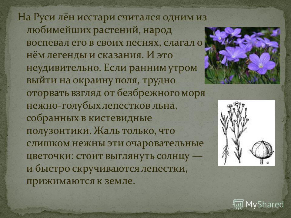 На Руси лён исстари считался одним из любимейших растений, народ воспевал его в своих песнях, слагал о нём легенды и сказания. И это неудивительно. Если ранним утром выйти на окраину поля, трудно оторвать взгляд от безбрежного моря нежно-голубых лепе