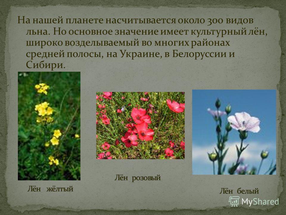 На нашей планете насчитывается около 300 видов льна. Но основное значение имеет культурный лён, широко возделываемый во многих районах средней полосы, на Украине, в Белоруссии и Сибири.