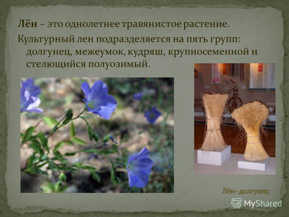 Лён – это однолетнее травянистое растение. Культурный лен подразделяется на пять групп: долгунец, межеумок, кудряш, крупносеменной и стелющийся полуозимый.